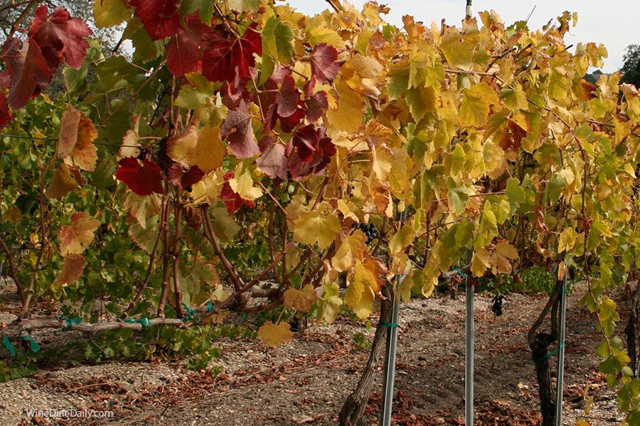 Fall Vineyard WineDineDaily