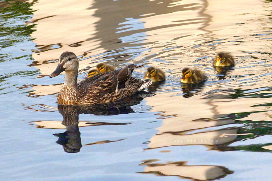 Ducks Mom Baby