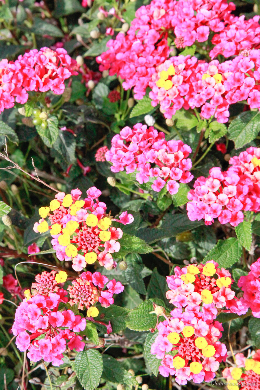 Lantana Flowers Favorites