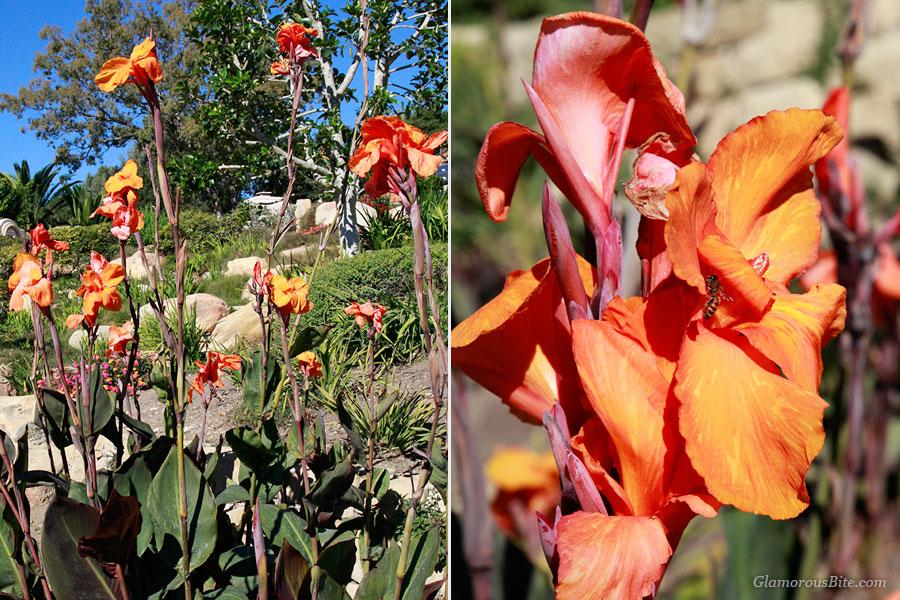 Canna Lilies Flowers